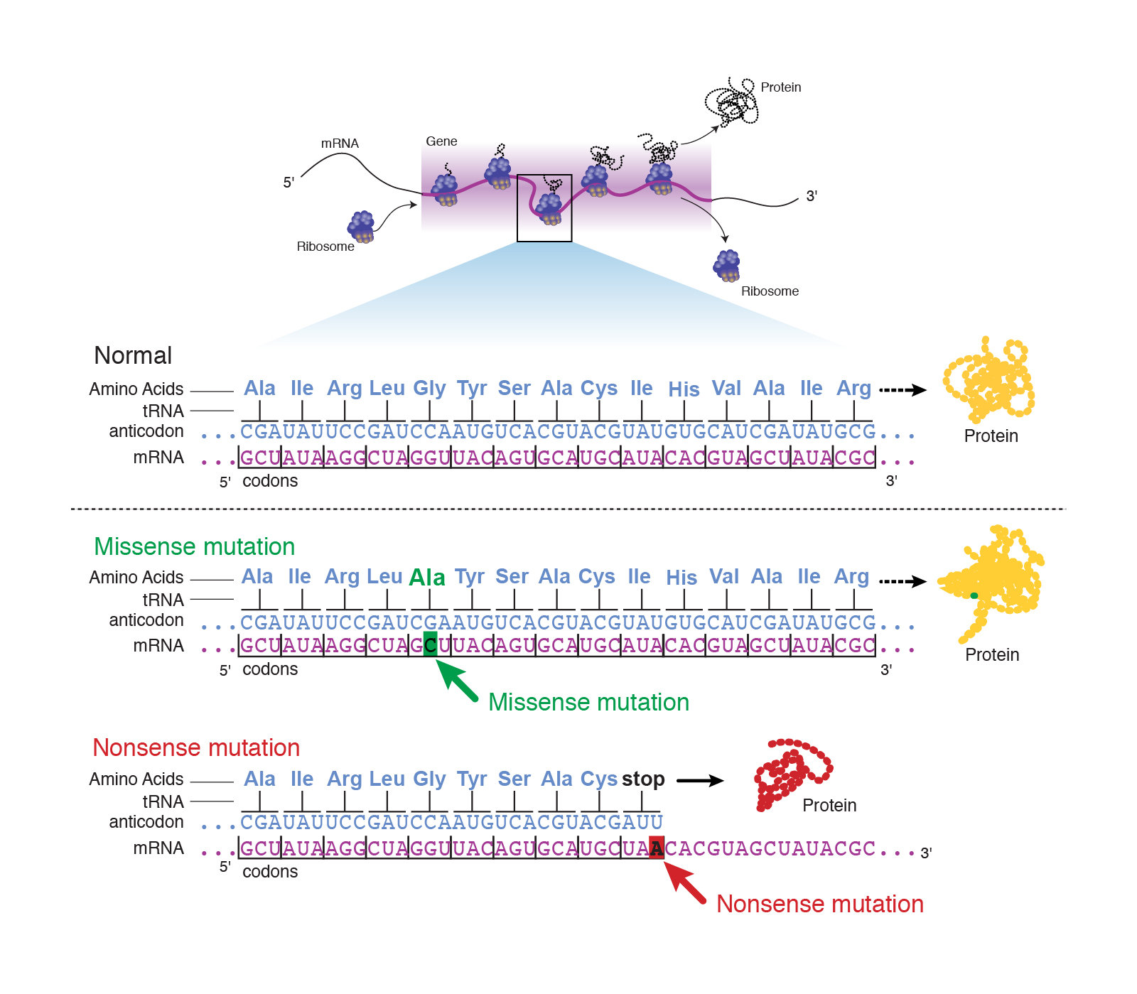 Chapter 16 Genetics Replication Of Dna Primer Rna Dna