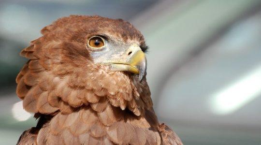 Adler und mentale Stärke