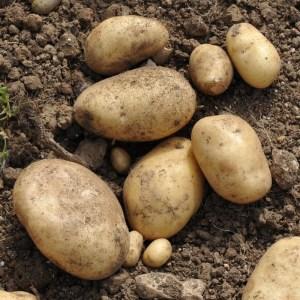Картошка Royal Jersey