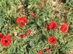 Poppies found throught the Syrian countryside.