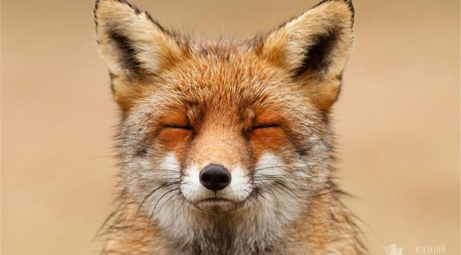Zen Foxes: A Photographer Is Capturing Nature's 'Masters Of Mindfulness'