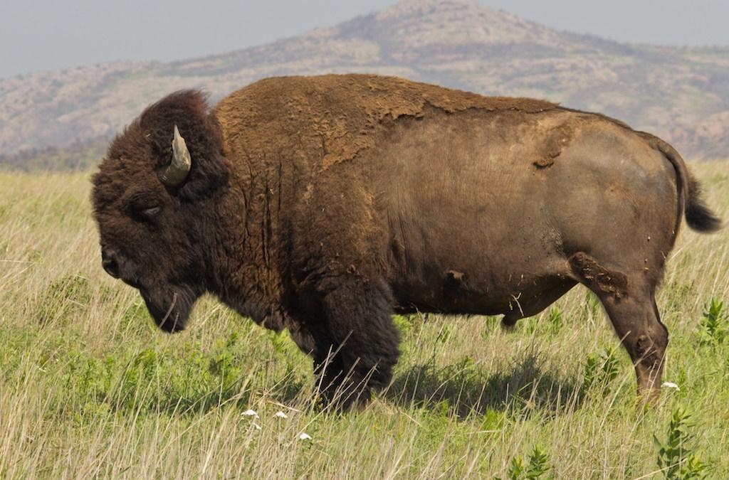 Bring back the Buffalo nickel?
