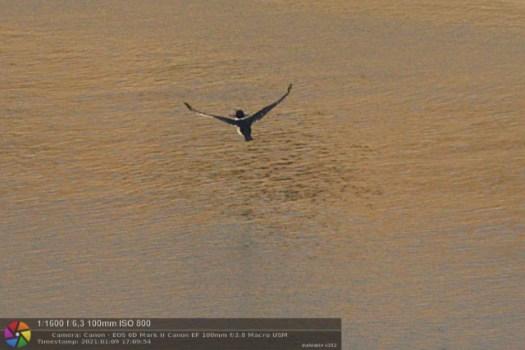 imagem do martim-pescador pescando um peixe