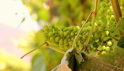 Uvas jovens dos vinhedos da vinícola orgânica Emiliana - Capa