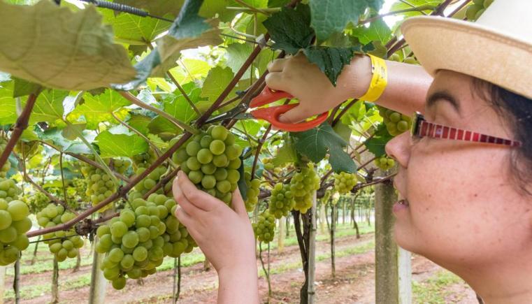 Coisa colhendo suas uvas na Vindima 2018 da Vinícola Góes