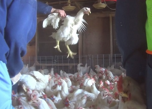 Victory Cok Video Of Cruelty To Chickens Prompts