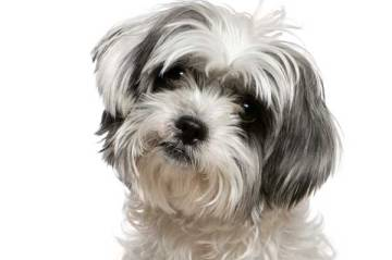 A maltese shih tsu similar to the one which died in an attack at Apollo Bay.