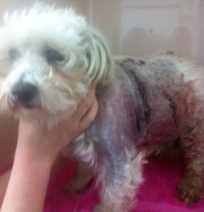 HURT: Harley had surgery on a punctured lung.