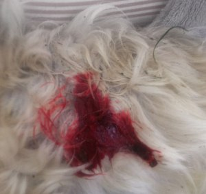 Maltese terrier Harley received life-threatening injuries after two roaming dogs attacked him.