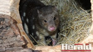 Quolls exist in the Otways but even finding a quoll droppings, known as scat, is difficult.