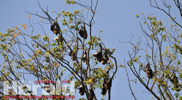 Council works towards moving flying foxes
