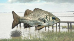 Anglers are eagerly awaiting the liberation of 50,000 estuary perch into Lake Colac.