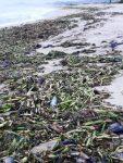 Tras las lluvias, las playas de Los Cabos se encuentran limpias; 19.5 toneladas de basura se recolectaron de las playas de CSL
