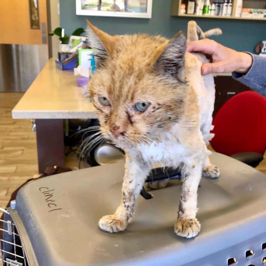 Old Man Cat Rescued From Streets After Cleaned Up