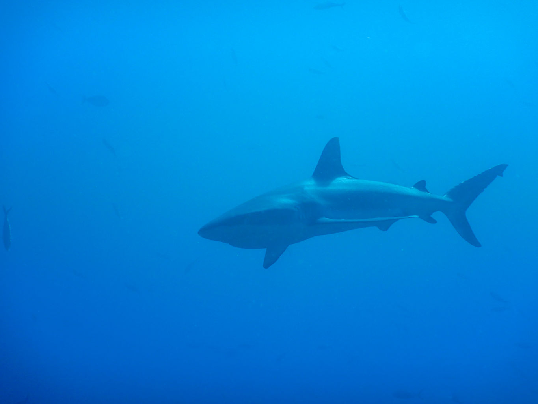 Tiburón gris
