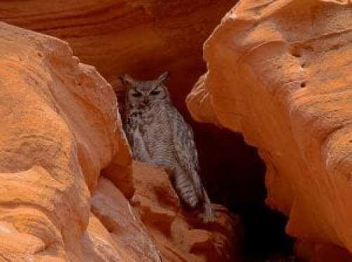 Antelope Owl