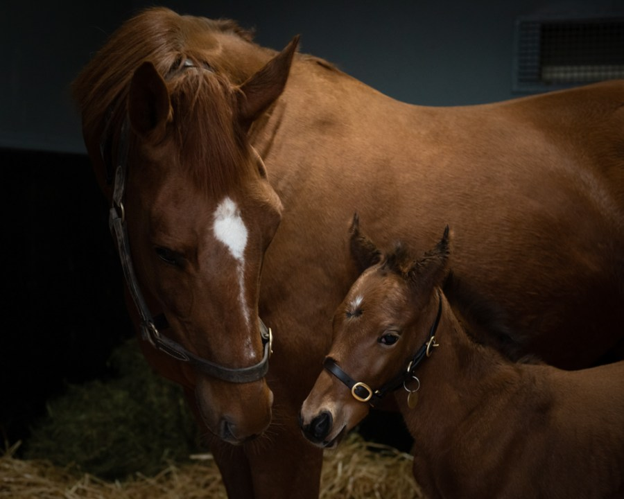 Annie Power and her newborn foal by Galileo - 2019