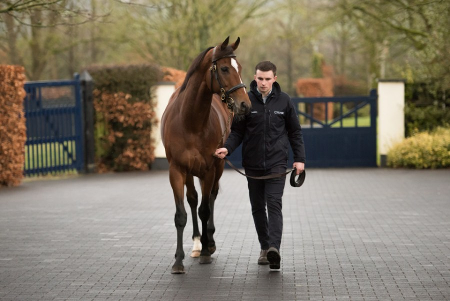 Highland Reel walking back to his stable with his handler Darren