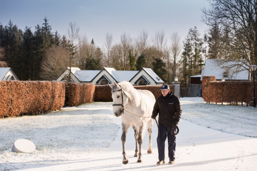 Mastercraftsman walking in the snow at Coolmore with stallion yard manager Tony O'Meara.