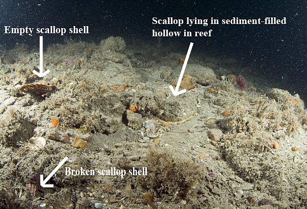 An area of 'worked' boulder reef in Lyme Bay.  Almost all larger and slow growing species have been removed.  Broken scallop shells and a live scallop buried in a sediment hollow can be seen. Colin Munro Photography.