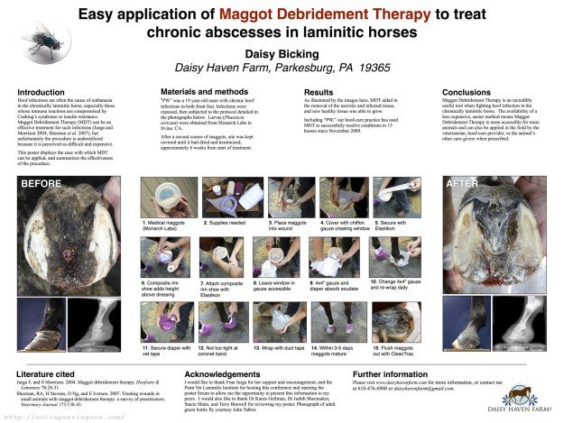 Easy application of maggot debridement therapy to treat chronic absceses in laminitic horses