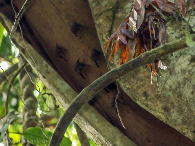 Roosting bats covered with red dots