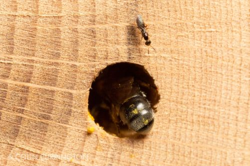 Female Melittobia sp. at a mason bee house.