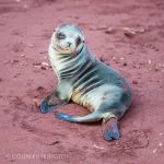 Galapagos sea lion (Zalophus californianus wollebaeki)