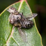 Eris sp. with a Pollenia sp.