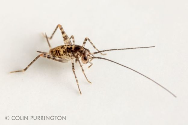 Juvenile greenhouse camel cricket (Tachycines asynamorus) in bathroom sink