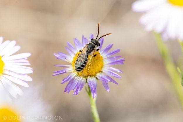 Ligated furrow bee (Halictus ligatus)