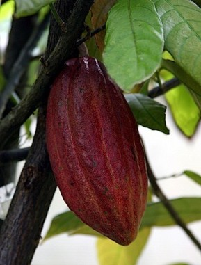 cocoa-skin-benefits.jpg