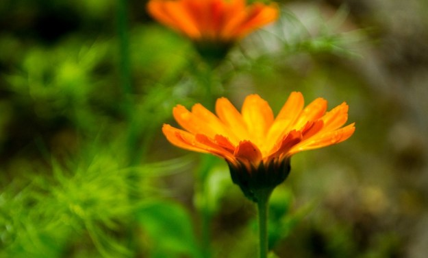 marigold in skincare