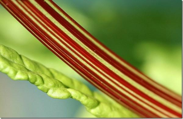 rhubarbe dangereux colique nephretique