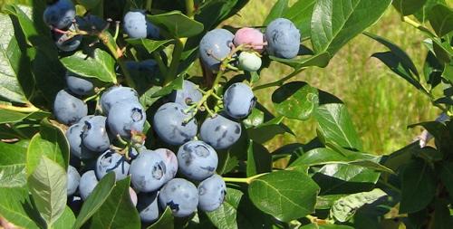 blueberry_crop.jpg