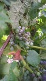 on grape