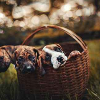 selective focus photo of three brindle puppies inside brown woven basket