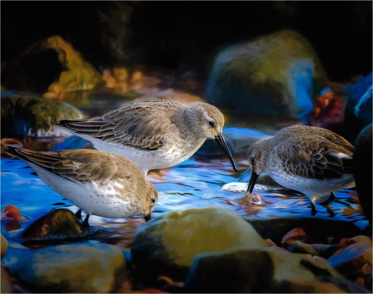 Three sandpipers searching for food among the rocks along the shore