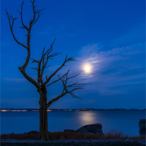 Gnarly tree on the Connecticut shoreline as the moon is rising over the water