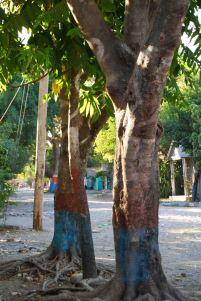 trees in maissade