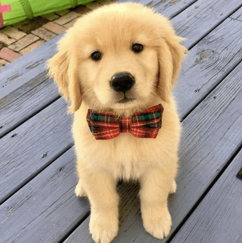 Pupply with plaid Christmas bow tie.