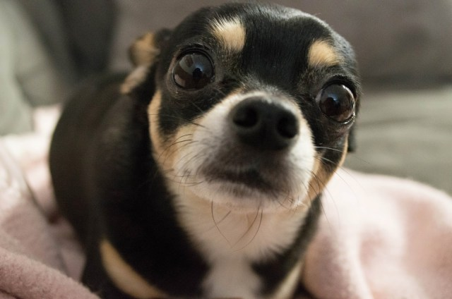 black chihuahua dog cute