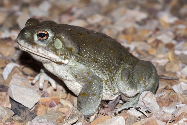 toad containing dmt toxin