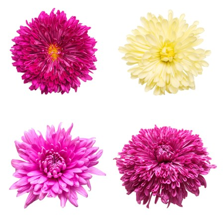 Layout of different colored chrysanthemums, three shades of pink, one white.