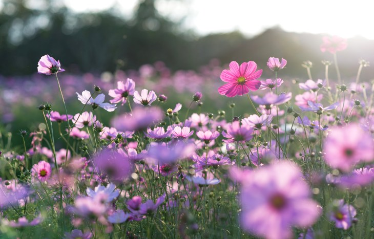 A field of beautiful purple and pink flowers