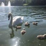 Belfield Swans Forced to Offer up their Children to Afford Living on Campus