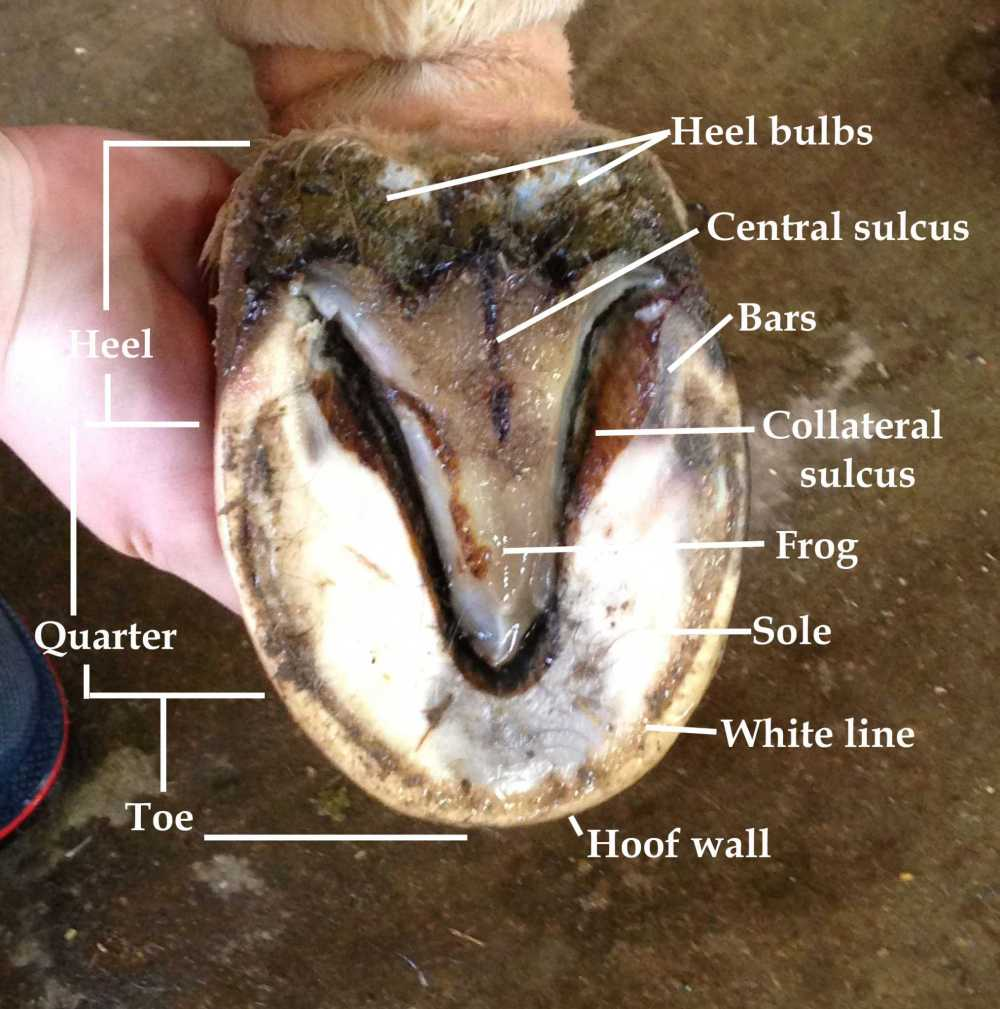 medium resolution of hoof bottom view crowe