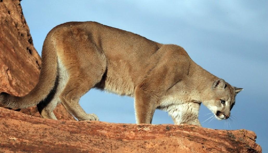 runner kills mountain lion