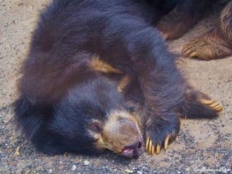 Balu der Bär im Bannerghatta Biological Park
