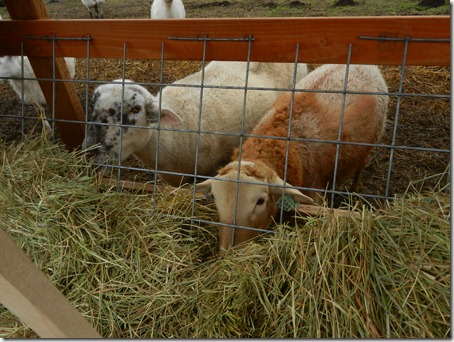 Premier Sheep Feeders With Mods and Lids  The Collie Farm